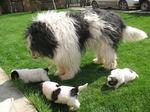 Румынская миоритская овчарка с щенками
