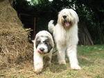 Румынские миоритские овчарки