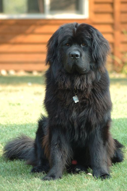 Московская водяная собака фото