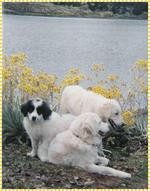 Собаки мукучиес