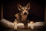 Таинственная волчья собака Сарлоса