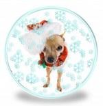 Новогоднее фото собаки чихуахуа