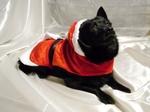 Новогоднее фото собаки шипперке
