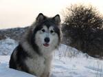 Собака аляскинский маламута