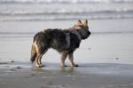 Красивая американская эльзасская собака на берегу моря