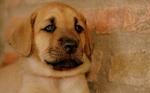 Милый щенок брогольмера
