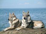 Милые чехословацкие волчьи собаки на фоне моря