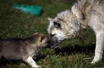 Хорошая гренландская собака и ее детеныш