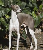 Симпатичная собака левретка