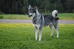 Симпатичная собака емтхунд
