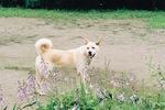 Хорошая корейская собака Хиндо