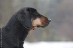 Милая польская охотничья собака