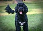 Хорошая португальская водяная собака