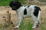 Милый щенок стабихуна