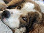Милая собака торньяк