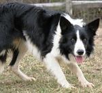 Хорошая уэльская овчарка