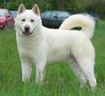 Милая белая собака акита-ину