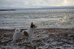 Норботтенская лайка на пляже