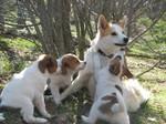 Норботтенская лайка с щенками
