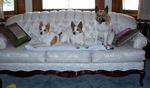 Норботтенские лайки на диване