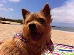 Норвич терьер на пляже