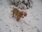 Новошотландский ретривер в снегу