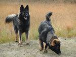 Длинношёрстные немецкие овчарки