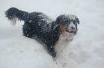 Старая фермерская овчарка в снегу