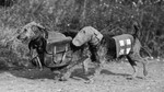 Военное черно-белое фото эрдельтерьера