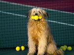 Собака оттерхаунд-гольфист