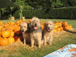 Собаки оттерхаунд и тыквы