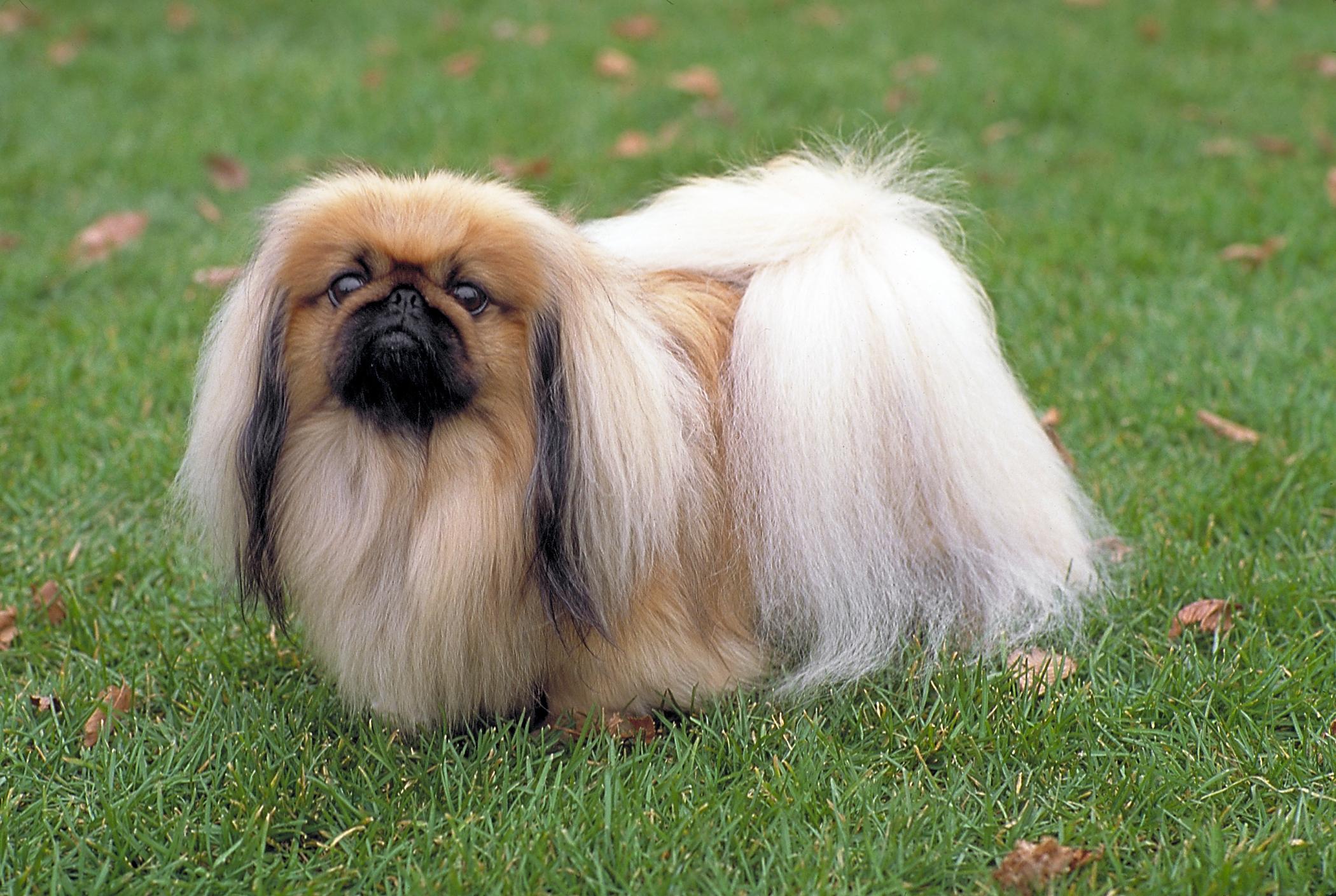 Fotos de perros salchicha de pelo largo 19