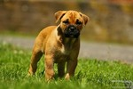 Щенок собаки Ка де Бо