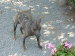 Перуанская голая собака и цветы