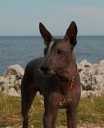 Перуанская голая собака на фоне океана
