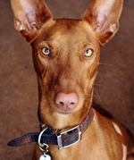 Морда фараоновой собаки