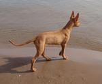 Фараонова собака на фоне воды