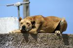 Азорская пастушья собака спит на крыше