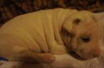 Палевый щенок американского бульдога