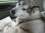 Аляскинский маламут в машине