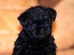 Черный щенок аффенпинчера