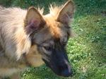 Золотой американская эльзасская собака