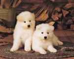 Два белых щенка американской акиты