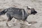 Американская эльзасская собака на песке