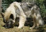 Старая серая американская эльзасская собака