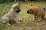 Щенки собаки евразиер играют