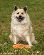 Исландская собака играет