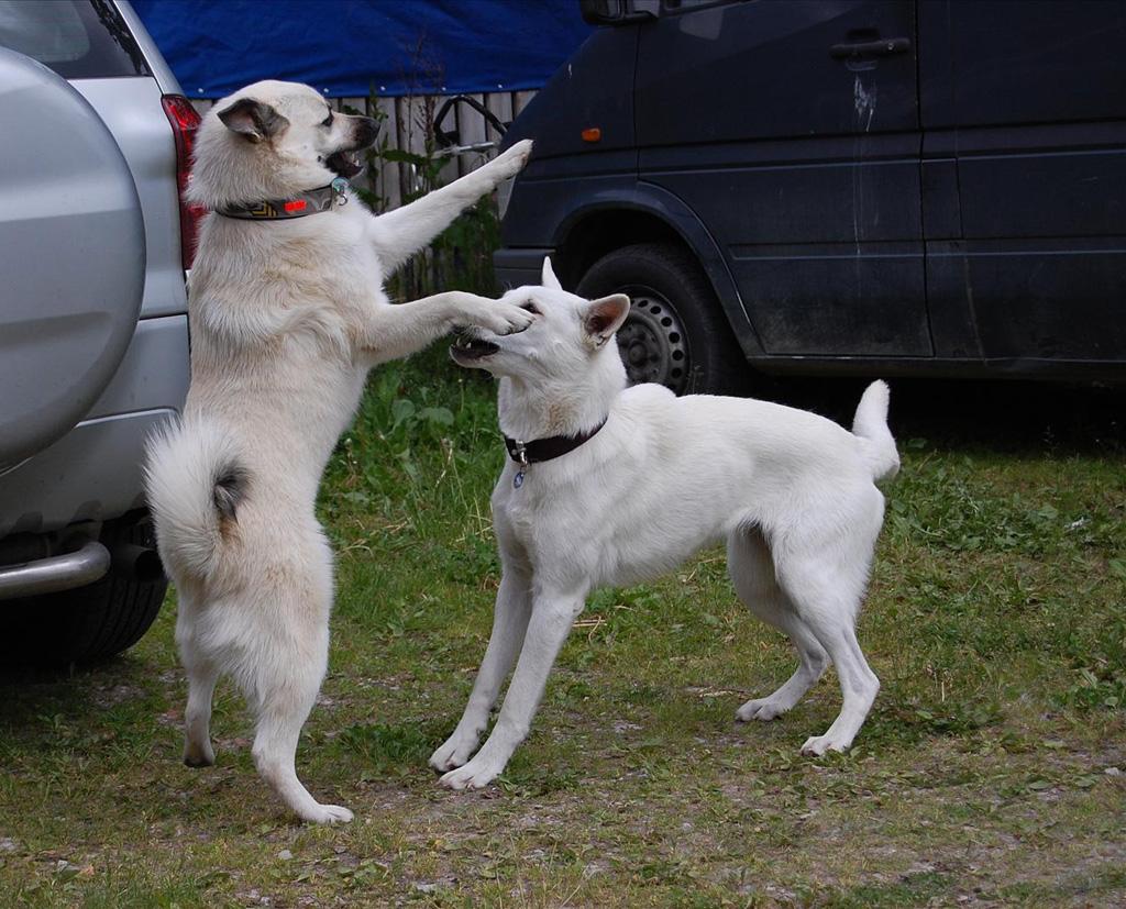 Собаки овчарки обои на рабочий стол