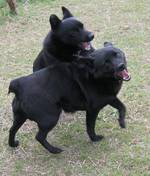 Собаки шипперке играют