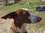 Морда собаки канарский поденко